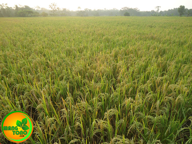 FOTO : Tanaman padi sudah menguning