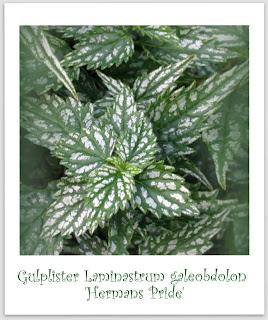 Laminstrum galeobdolon 'Hermans Pride' Gulplister