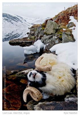 Scotland Angus Loch Lee Glen Esk Landscape snow winter ram sheep dead death harsh reflection season ice Hamilton Kerr
