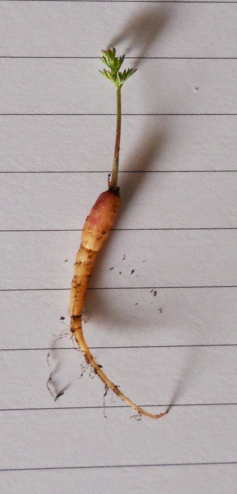 mini zanahoria de maceta