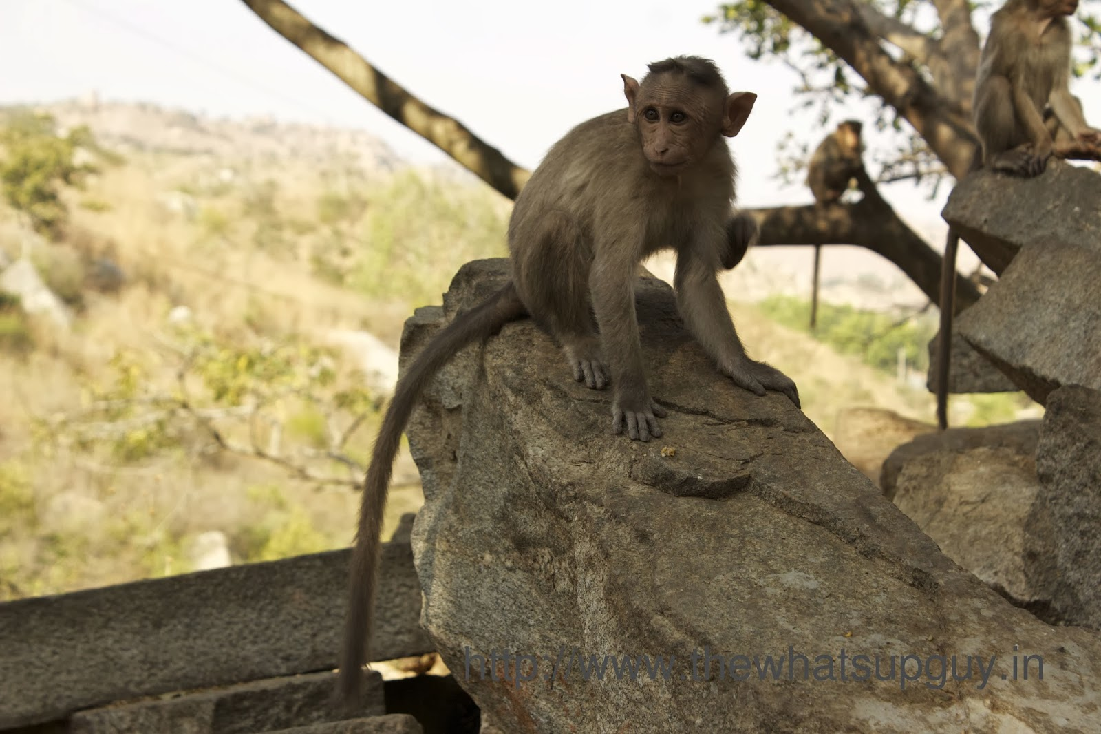 Baby Monkey Channagiri