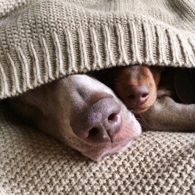 Cute dogs - part 4 (50 pics), dog pictures, dogs sleep under blanket