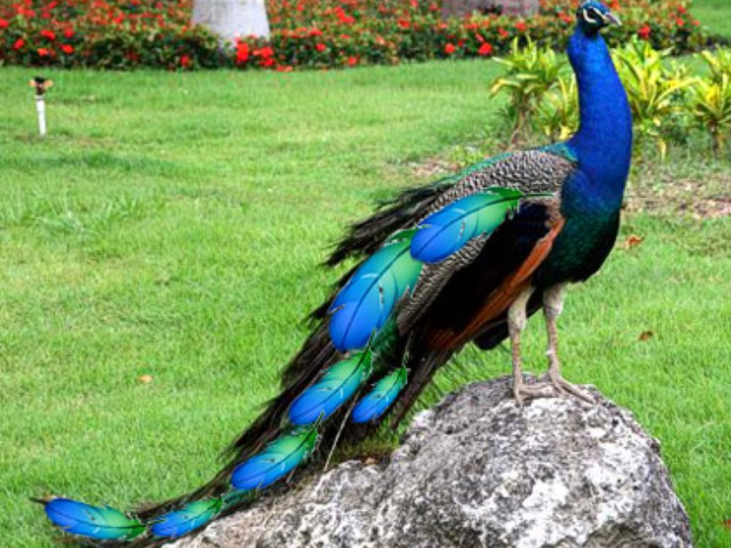 Nice Peacock images Free Download ~ Allfreshwallpaper