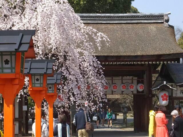 他の桜に先駆けて咲くことから「魁桜」と名付けられた。