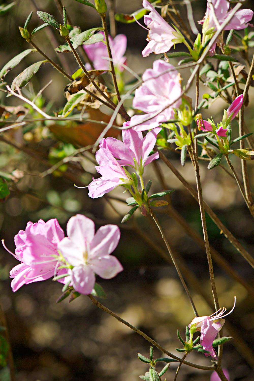pink petunias - photo copyright Allison Beth Cooling