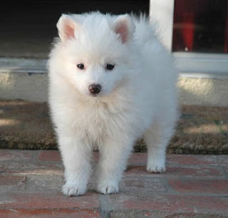 American Eskimo Dog picture