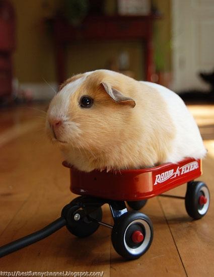 Funny guinea pig.