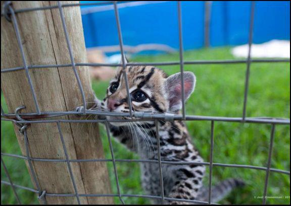 Liger Kucing Paling Besar Di Dunia Tiba2jam6petang
