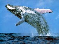 ballena azul rorcual