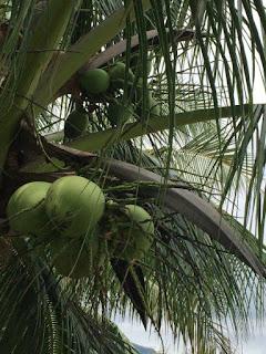 Kookospähkinät puussa