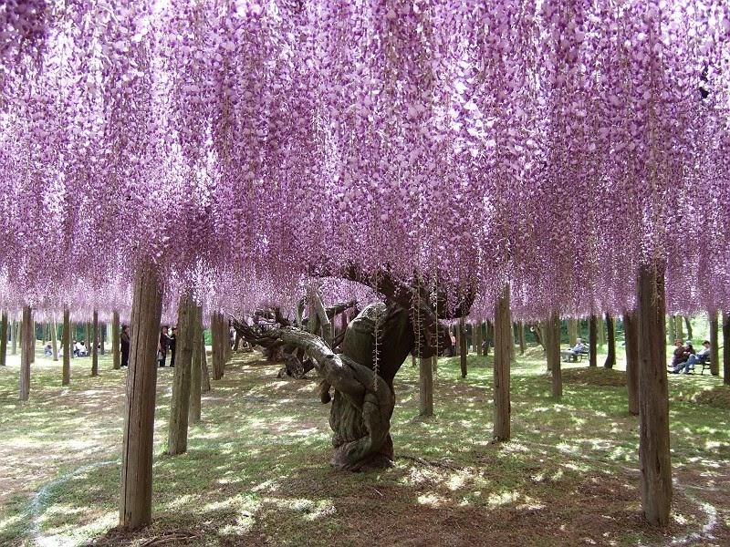 Una Delle Principali Attrazioni Di Questo Parco è Il Glicine Giapponese,  Con Tonalità Cangianti Gradualmente: Pittoreschi Fiori Rosa Chiaro, Tralci  Viola, ...