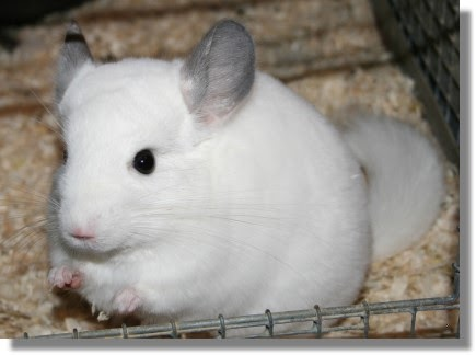 Chinchilla Animal Wildlife