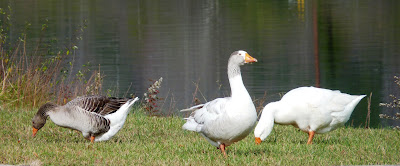 2 feral geese