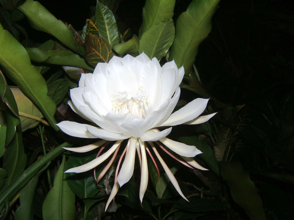 Most beautiful flower on earth real beauty of nature allupdates24 kadupul is one the most beautiful flower on earth the scientific name of this flower is epiphyllum oxypetalum it is a special flower for its beauty and izmirmasajfo Images