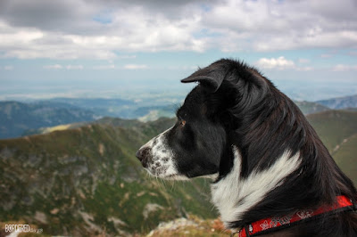 border collie in the mountains