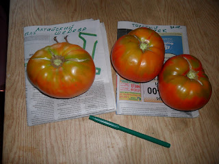 vkusniogorod - семенные помидоры – плоды на дозаривании