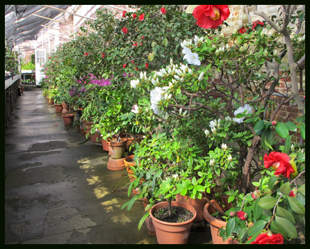 Camellia greenhouse historic Lyman Estate