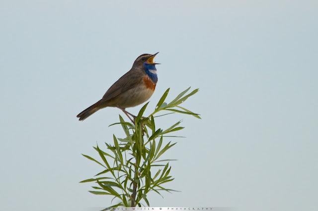 Blauwborst zingt uit volle borst - Bluethroat singing