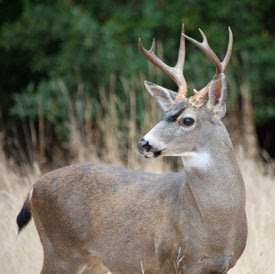 black tail deer buck resized