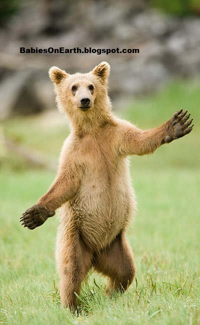 Baby brown bear - photo#21