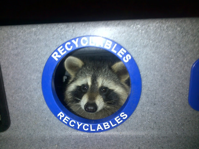raccoon in recycle bin, funny animal pictures, animal photos, funny animals