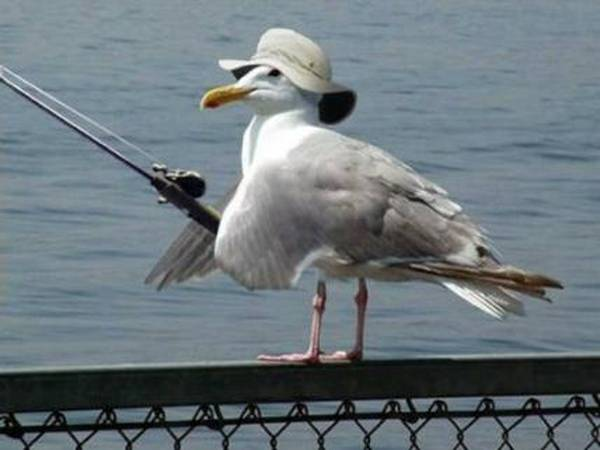 Gull Fisher