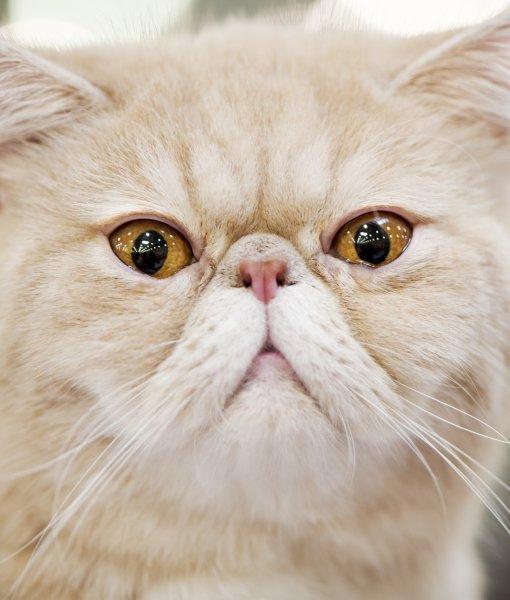 Gambar Foto Kucing Persia Lucu Imut