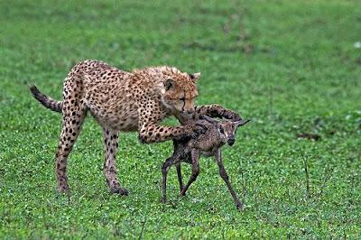 Animals hunting photos