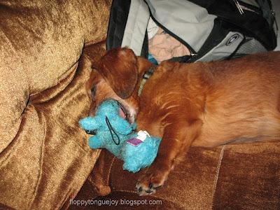dachshund chewing