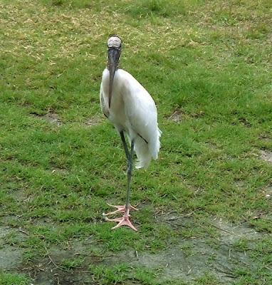 stork at Long Point Park in Melbourne Beach, Florida by http://DearMissMermaid.com copyright by Dear Miss Mermaid