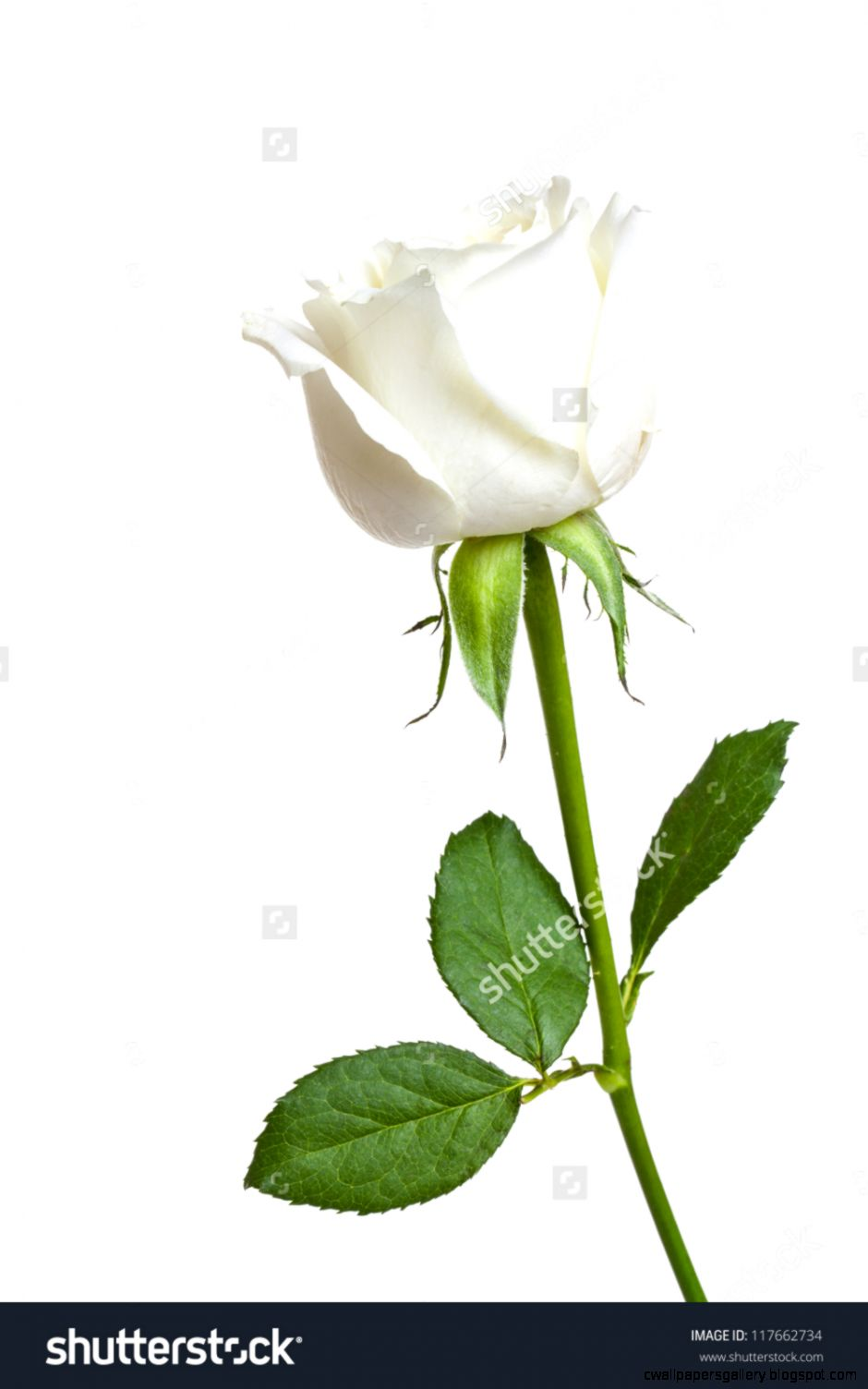 A Single White Rose Isolated On White Background Stock Photo