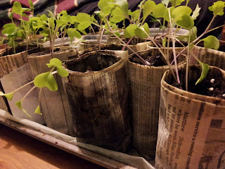 newspaper pots with kale seedlings