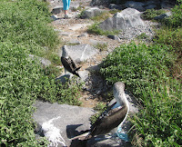 Blue Footed Boobies Mating Dance Performed on Espanola Island at Punta Suarez
