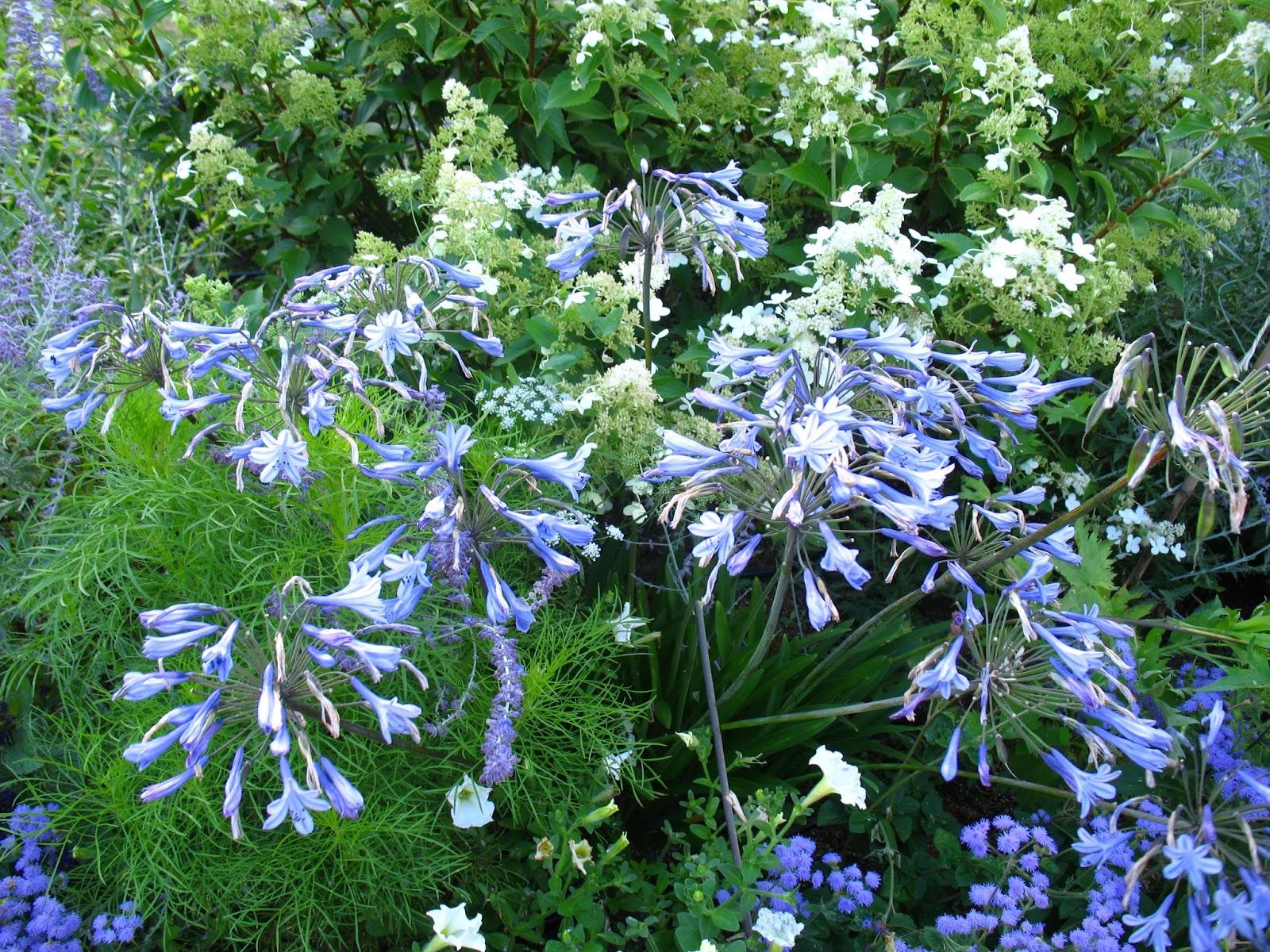 Roses du jardin Chªneland Un cama¯eu de fleurs bleues
