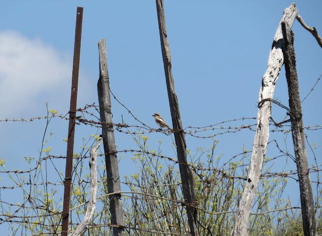 Woodchat Shrike - Spain