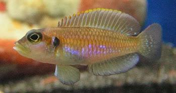 Akvaryum balığı ocellatuslar yaşamı