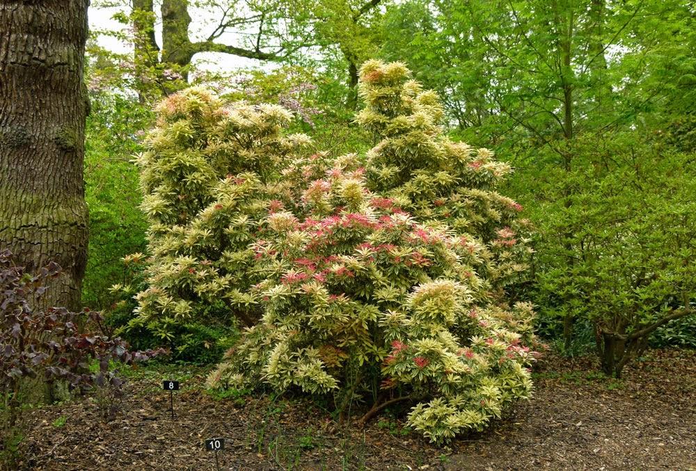 Pieris, Dunham Massey, gardens, park