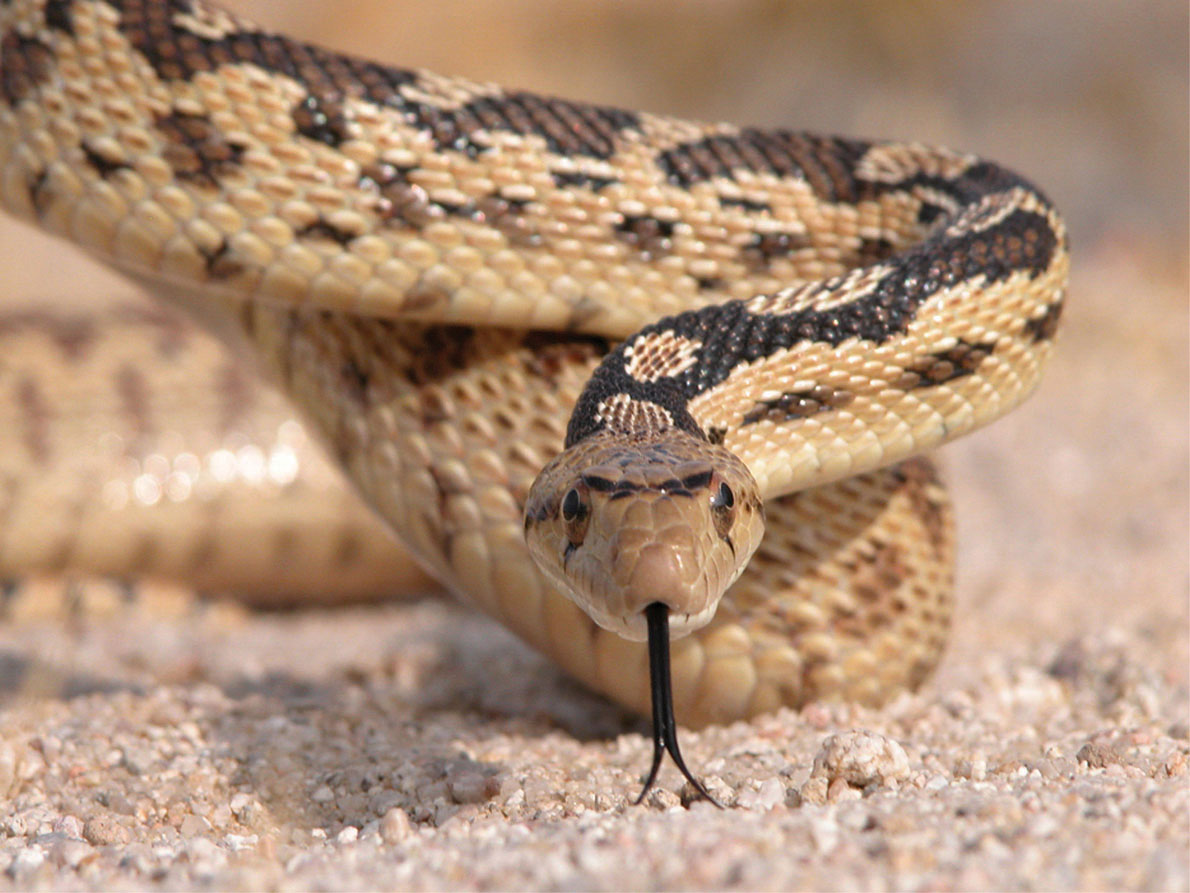 cobra snakes Cobra is the common name of various elapid snakes, most of which belonging to the genus naja biology all of the known cobras are venomous and many are capable of rearing upwards and producing a hood when threatened.