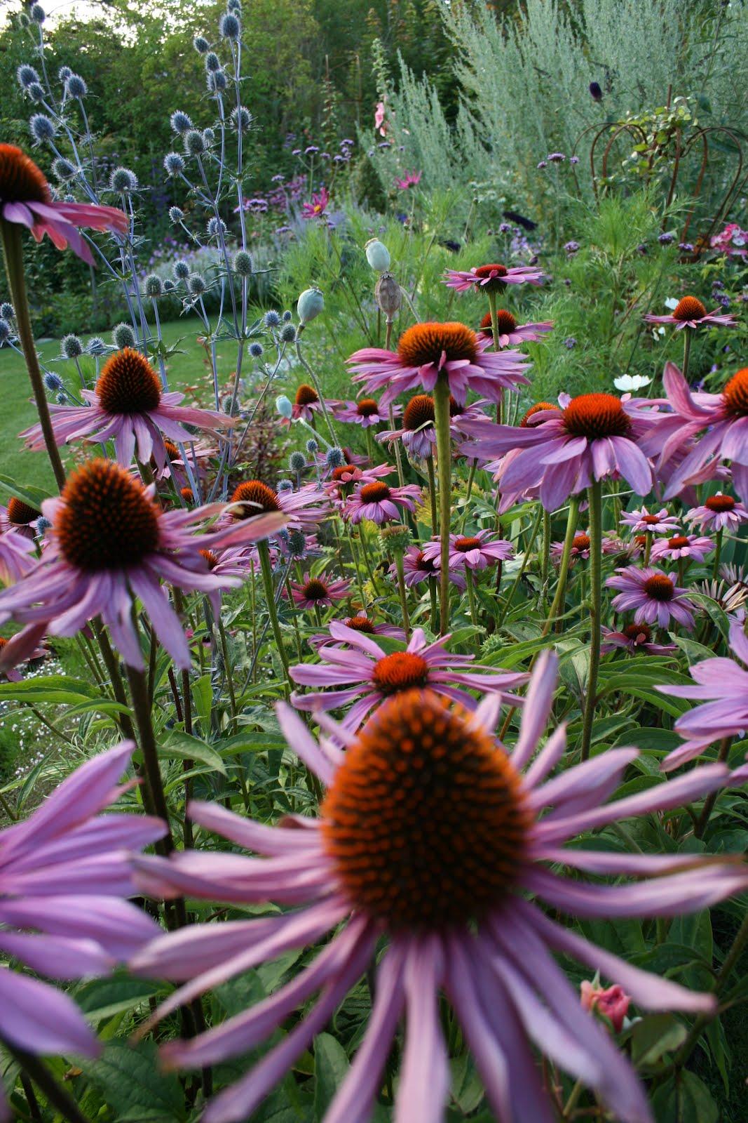 rudbeckia solhatt echinacea purpurea magnus