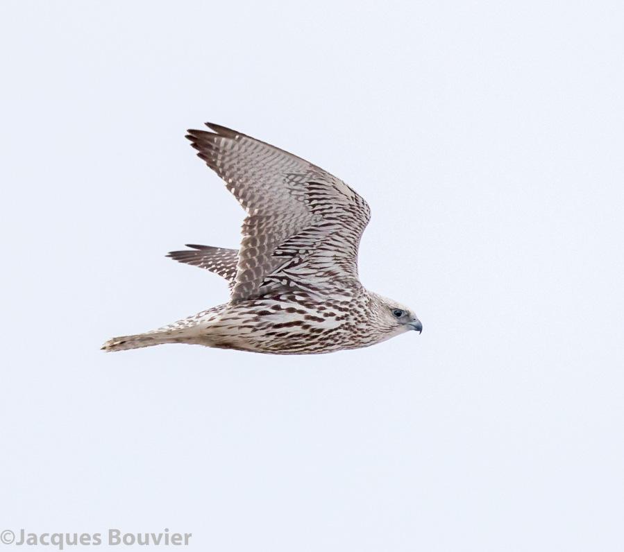 Les oiseaux des comtés unis de Prescott/Russell, Stormont ...