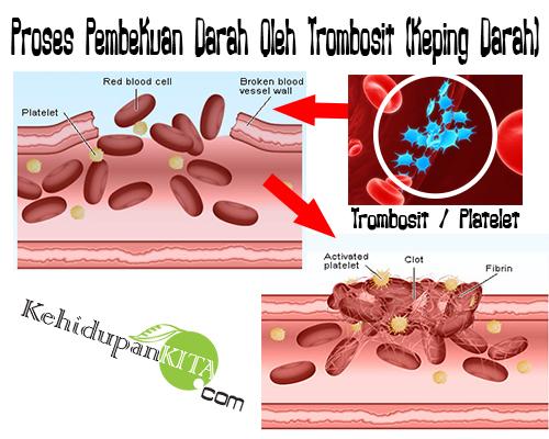 Proses pembekuan darah oleh trombosit keping darah ccuart Images
