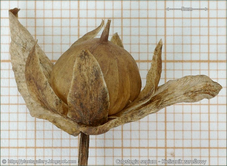 Calystegia sepium - Kielisznik zaroślowy owoc