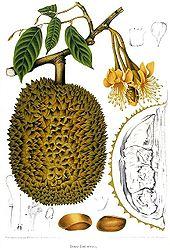 Manfaat Makan Buah Durian [lensaglobe.blogspot.com]
