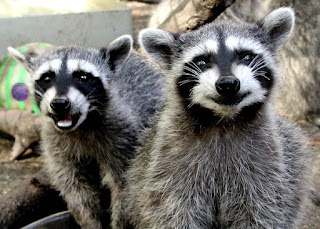 Raccoons pictures
