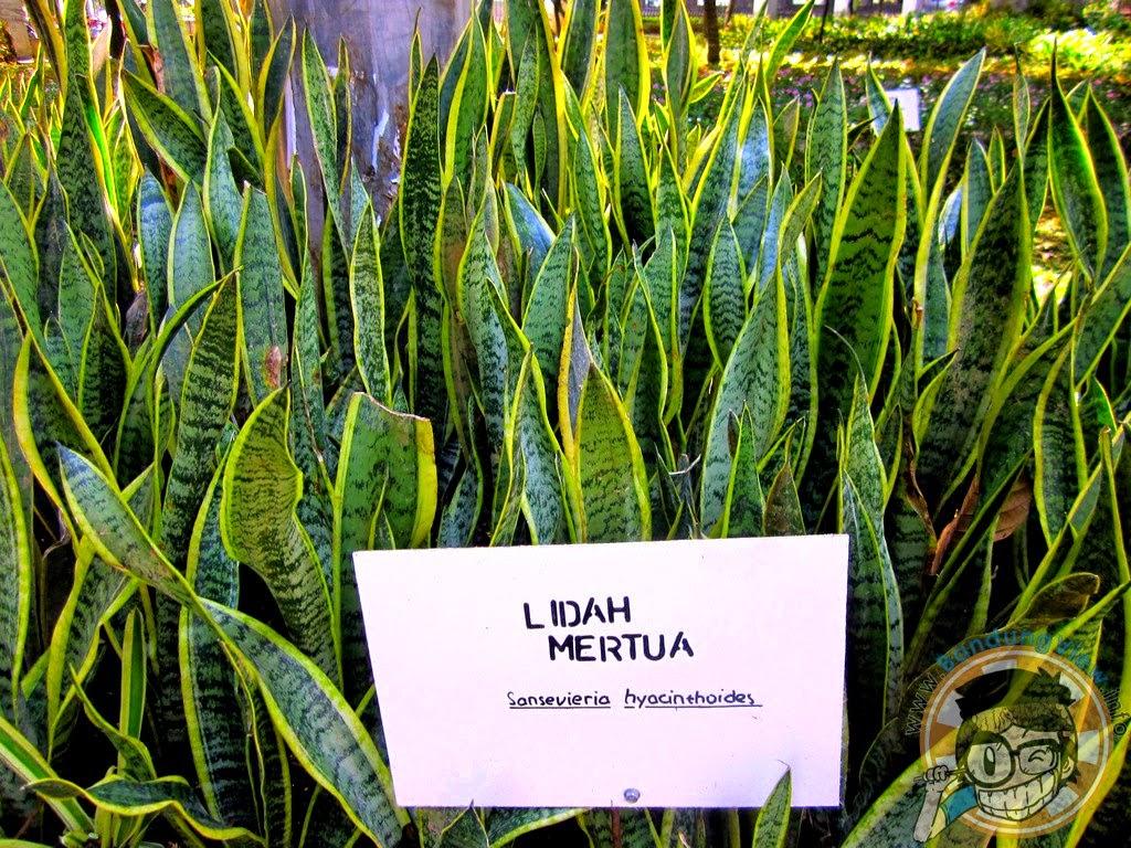 Lidah mertua - Taman pustaka bunga kandaga puspa