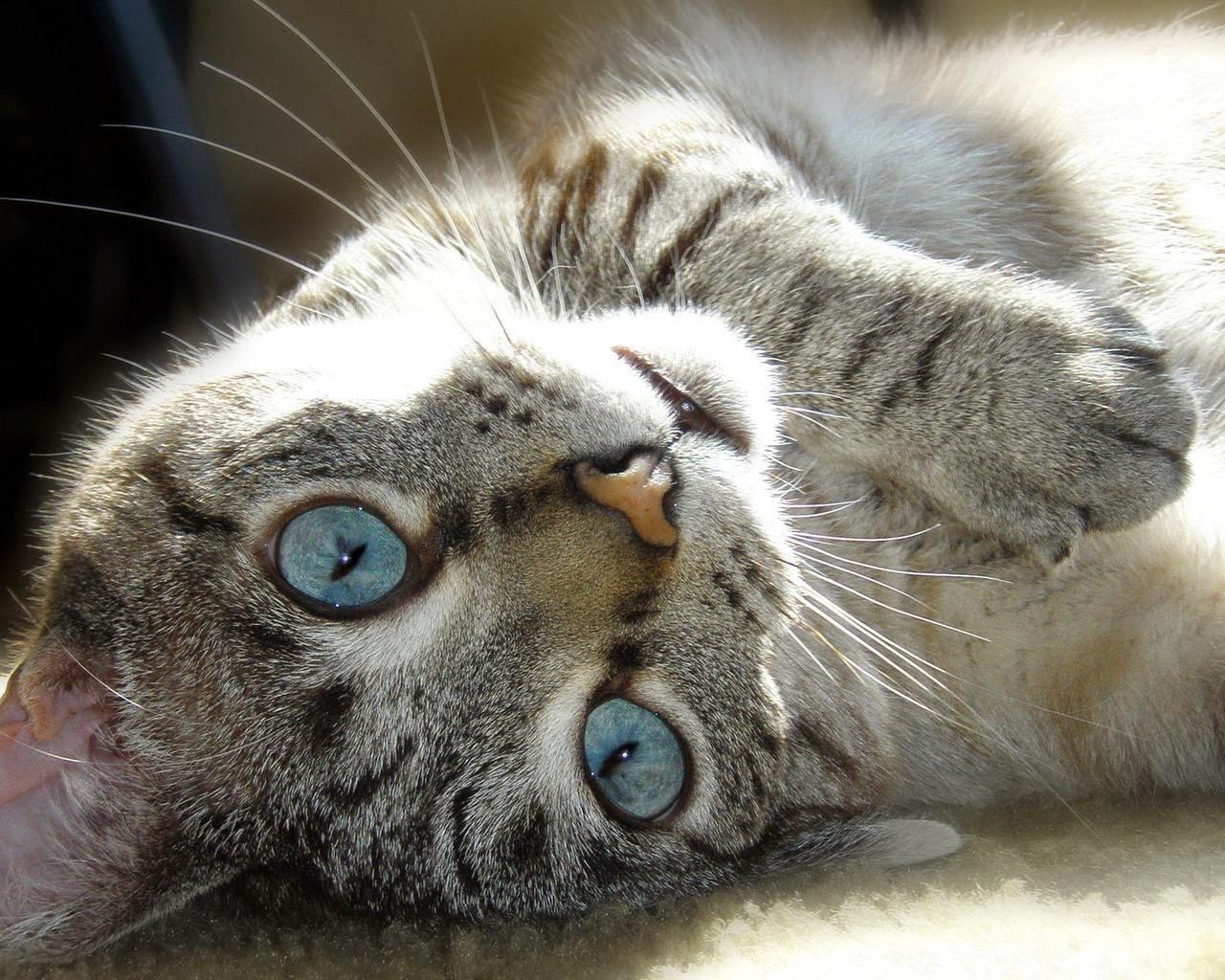 Kucing Sangar