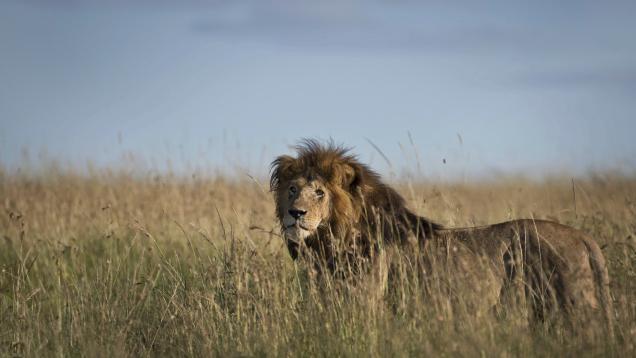 Jericho o leão tem uma equipe de segurança