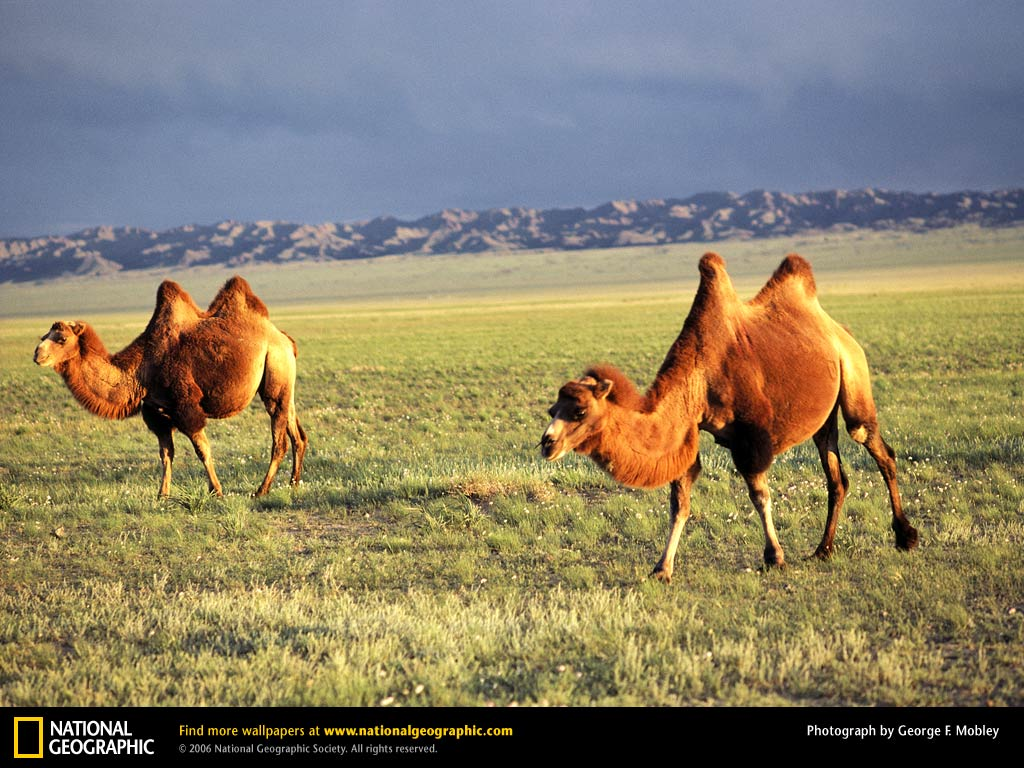 With Head And Body Length 225 345 Cm Shoulder Height 180 230 Tail 35 55 Weight 300 690 Kg The Two Humped Bactrian Camel Is Smaller