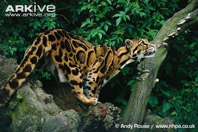Macan Dahan (Neofelis diardi)