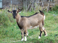 Из деревенской жизни: Коза-дереза